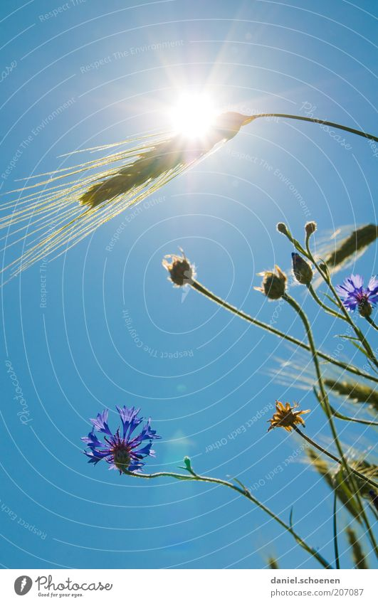 heiß Blume blau Pflanze Sommer Blüte Gras Wärme Wetter Klima Getreide Schönes Wetter Blauer Himmel Klimawandel Weizen Ähren Kornblume