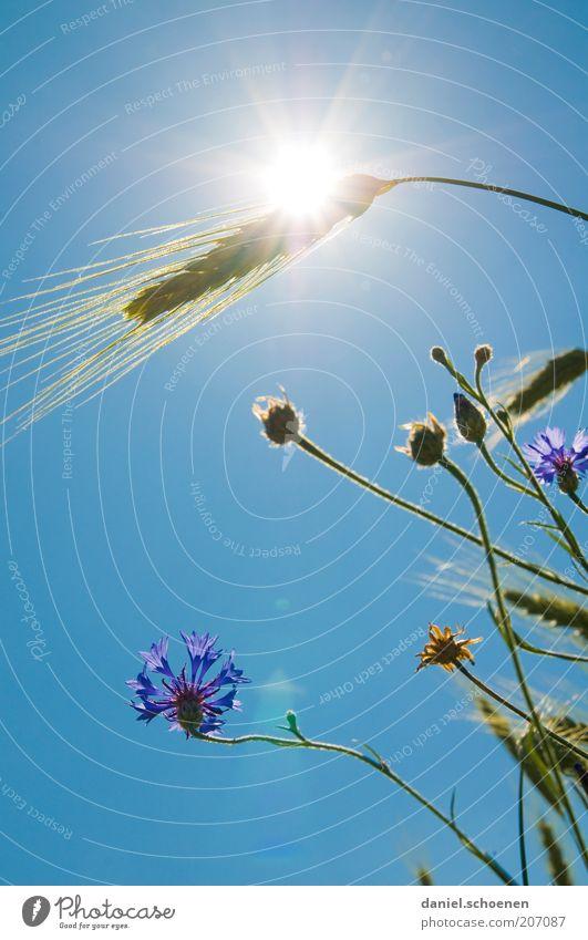heiß Pflanze Wolkenloser Himmel Klima Klimawandel Wetter Schönes Wetter Wärme Blume Gras Nutzpflanze blau Weizen Kornblume Licht Sonnenlicht Sonnenstrahlen