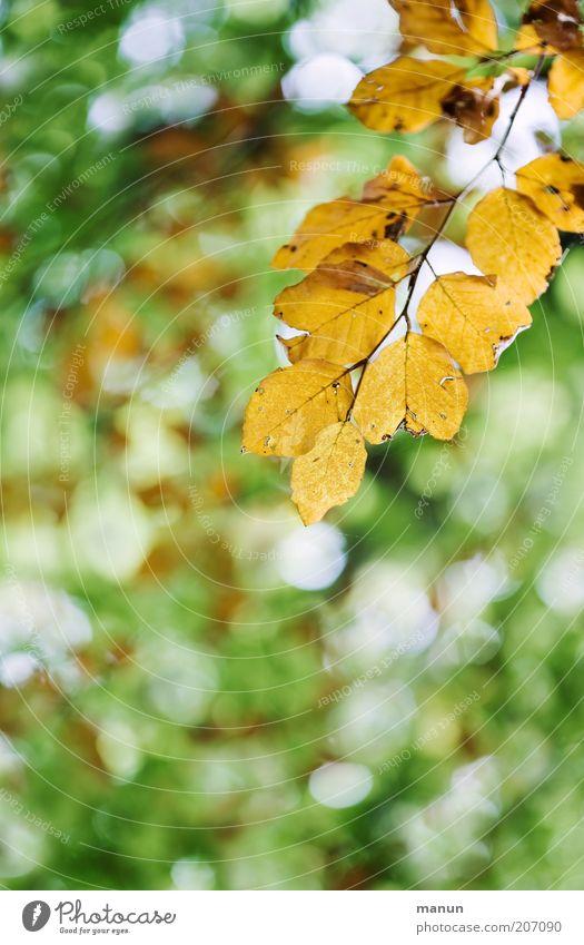 vergilbt Natur Herbst Baum Blatt Zweig Zweige u. Äste herbstlich Herbstfärbung Herbstbeginn Vergänglichkeit Wandel & Veränderung Farbfoto Außenaufnahme
