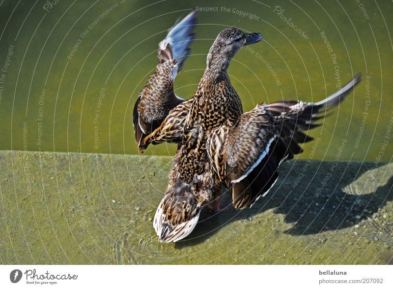 Brüderchen, komm tanz mit mir! Natur Tier Umwelt Wetter Vogel fliegen Beton Wildtier Flügel Feder Schönes Wetter Seeufer Ente Teich Schnabel trocknen
