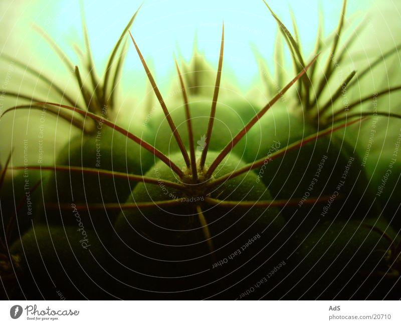 Kaktus im Gegenlicht Pflanze Stachel