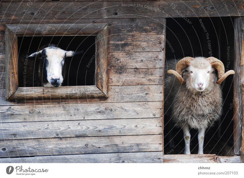 Sauwetter Tier Fenster Holz warten Tür Aussicht beobachten Zoo Neugier Hütte Holzbrett Schaf Horn Scheune Stall Ziegen