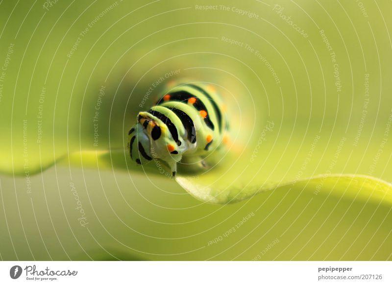 Schwalbenschwanz-Raupe Sommer Natur Pflanze Blatt Tier Nutztier Tiergesicht Fährte 1 krabbeln ästhetisch außergewöhnlich grün Farbfoto Außenaufnahme Nahaufnahme