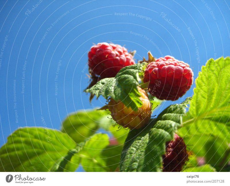 Himbeerhimmel Natur Pflanze Himmel Wolkenloser Himmel Sommer Sträucher Blatt Nutzpflanze Himbeerbusch Duft natürlich süß Wärme blau grün rot Farbfoto