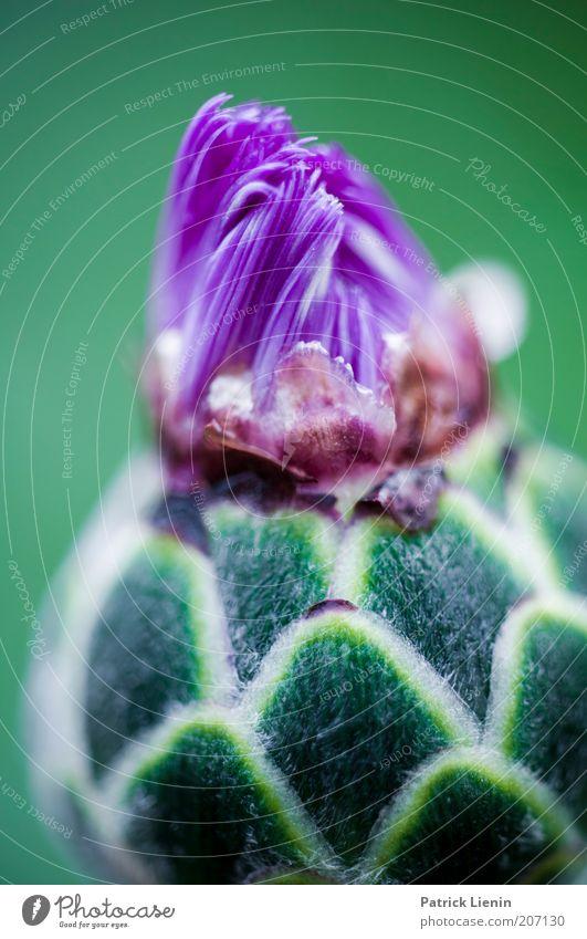 jetzt gehts los Natur schön Blume grün Pflanze Sommer Blüte Umwelt Zeit Beginn violett Blühend Blütenknospen attraktiv aufgehen wunderbar
