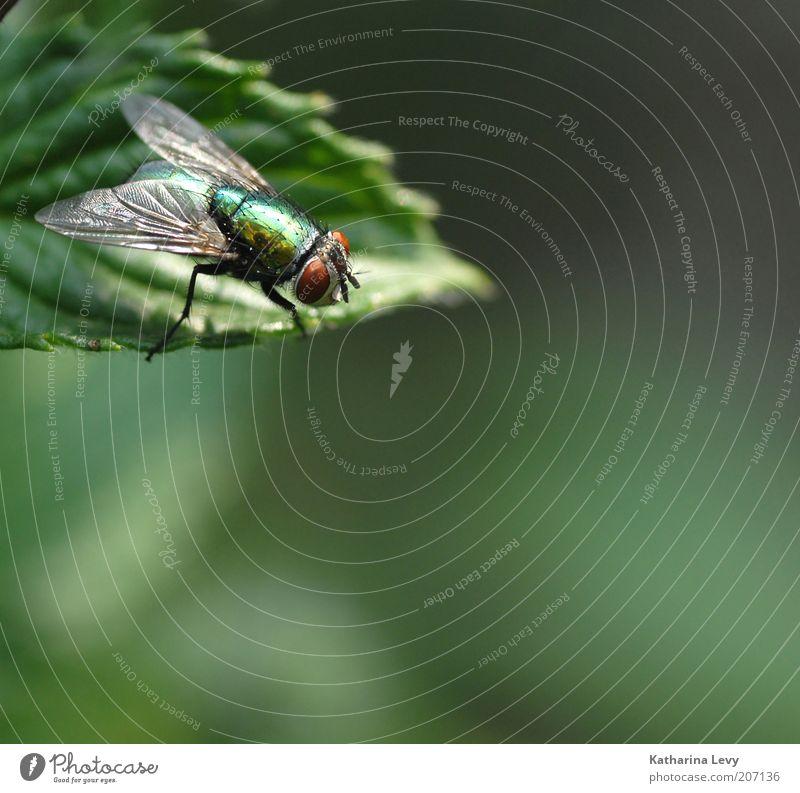 auf der Lauer Natur grün Pflanze Sommer Blatt Auge Tier Frühling klein Fliege Umwelt gold frei Perspektive authentisch Flügel