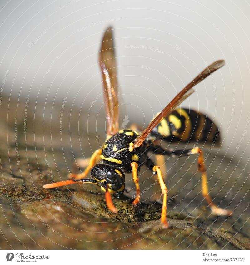 DURST: Französische Feldwespe ( Polistes dominulus ) Natur Wasser Sommer schwarz Tier gelb Stein Wärme braun Umwelt Wassertropfen ästhetisch trinken Flügel Insekt Wildtier