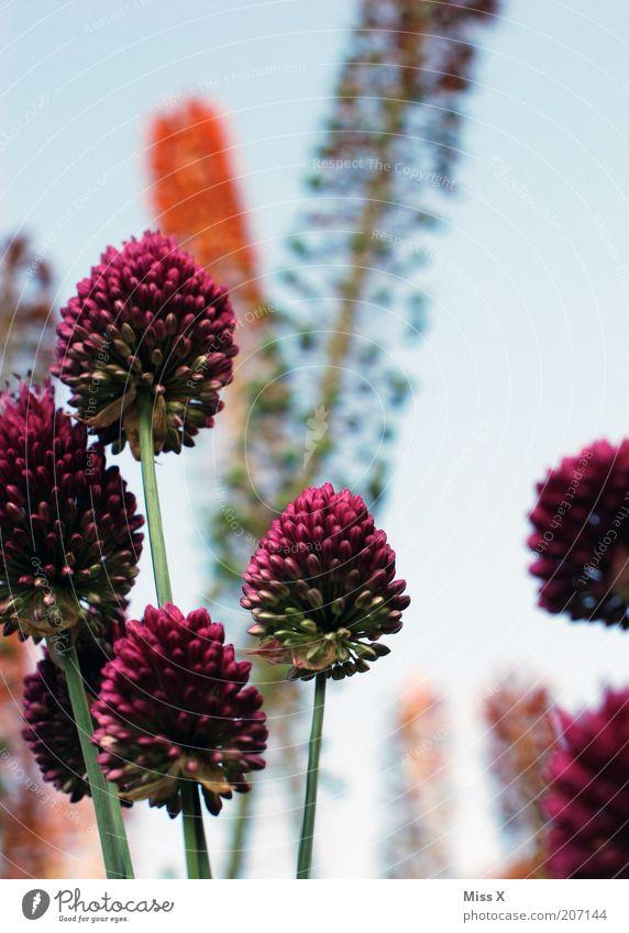 fremde Welt Natur Himmel Blume Pflanze Blüte Gras groß hoch Wachstum Sträucher violett Blühend Schönes Wetter Blütenstauden