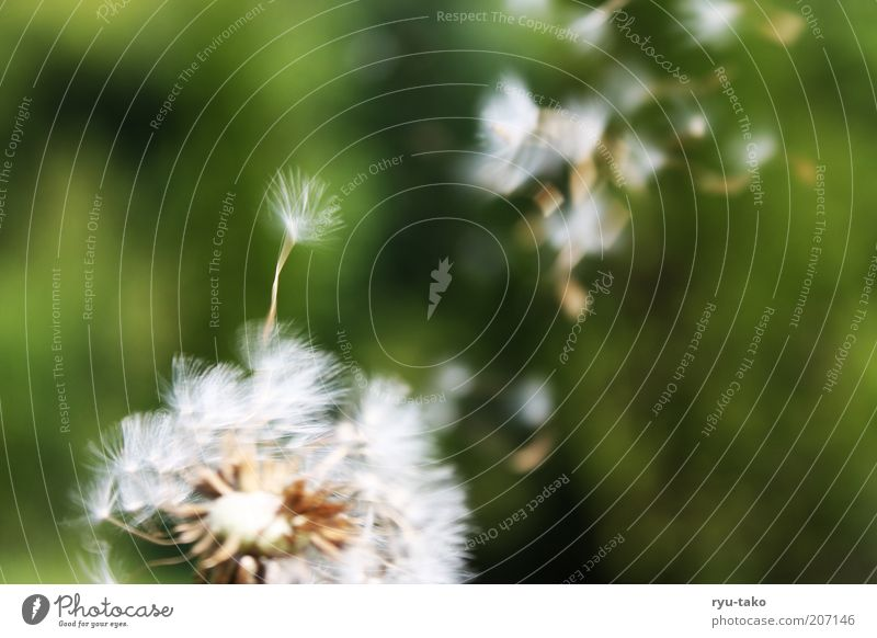 Vergänglich. Natur Pflanze Frühling Sommer Blume Löwenzahn Wiese Bewegung fliegen verblüht grün weiß Frühlingsgefühle Gelassenheit ruhig Hoffnung träumen