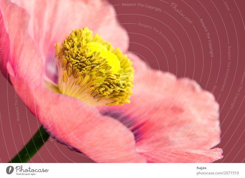 Schlafmohn,Blüte Rauschmittel Medikament Pflanze rosa Sucht Mohn Opium Alkaloid Betäubungsmittel Narkotikum Pharmzie Gift Asien Nahaufnahme Makroaufnahme