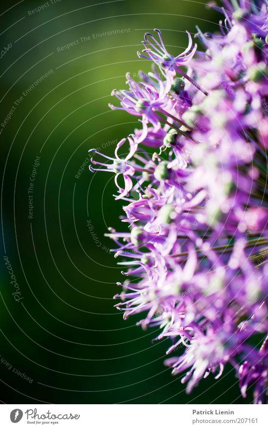 untitled Umwelt Natur Pflanze Sommer schön grün Kreis Halbkreis strahlend leuchten Blühend Farbfoto Makroaufnahme Menschenleer Textfreiraum links Tag Unschärfe