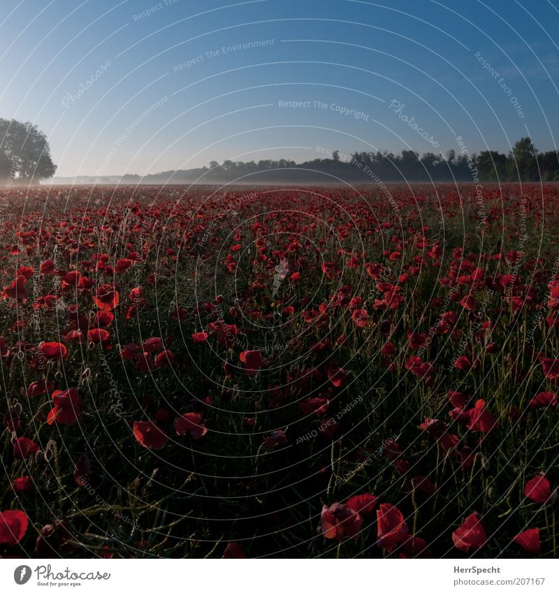 Morgenmohn Landschaft Pflanze Wolkenloser Himmel Sommer Schönes Wetter Nutzpflanze Mohn Feld schön blau grün rot ruhig Horizont Morgendämmerung Ferne frisch