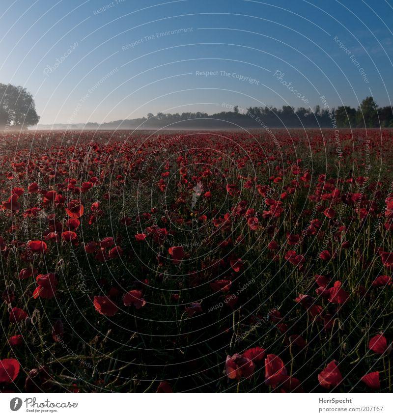 Morgenmohn schön grün blau Pflanze rot Sommer ruhig Ferne Landschaft Feld Horizont frisch Mohn Schönes Wetter Blauer Himmel Natur