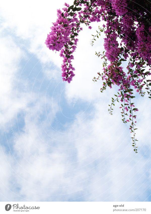 Bougainvilla Natur blau weiß Sommer Pflanze Wolken elegant Schönes Wetter violett Blühend hängen exotisch Blauer Himmel Blume Froschperspektive Wolkenhimmel