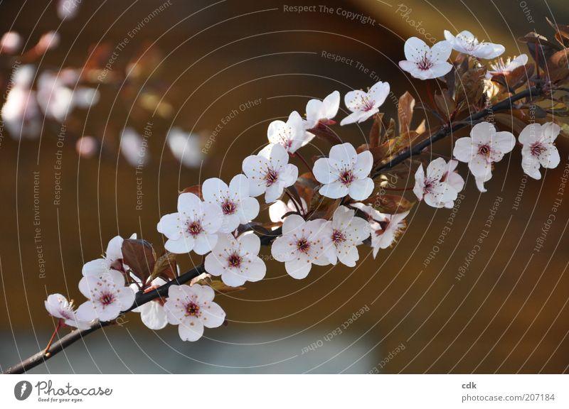 kirschblüten Natur schön weiß Pflanze Blüte Frühling rosa Umwelt ästhetisch zart Zweig Blütenblatt Kirschblüten bräunlich Zierkirsche