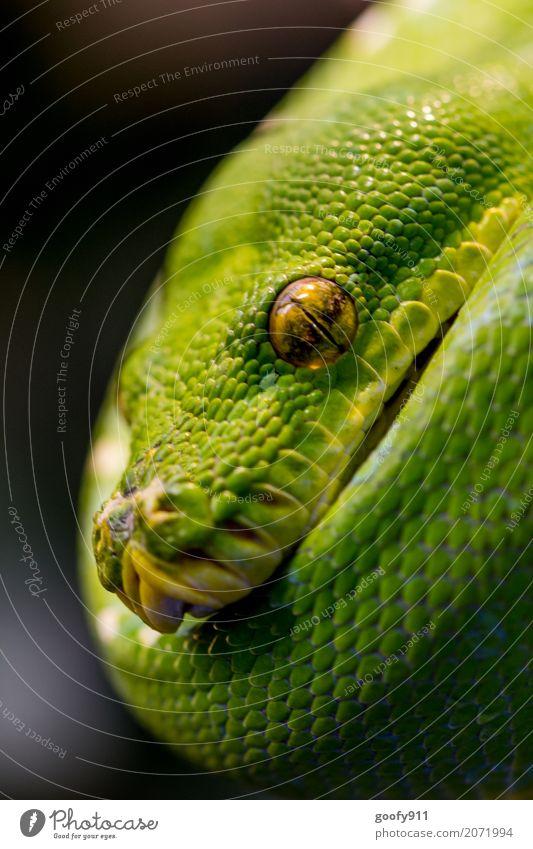 Einfach relaxen Urwald Tier Wildtier Schlange Tiergesicht Schuppen Zoo Fährte Erholung hängen liegen träumen bedrohlich elegant exotisch fest grün Zufriedenheit