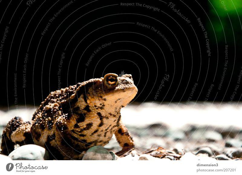 Die Kröte im Wald Natur Tier Erdkröte 1 beobachten krabbeln Blick dunkel Ekel klein nah natürlich schleimig wild braun gelb ernst Farbfoto Außenaufnahme
