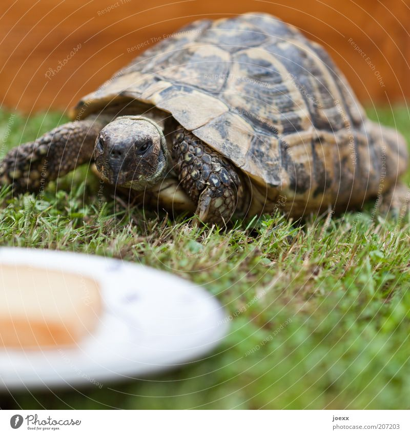 Das eigene Haus im Grünen alt grün Tier Gras Bewegung braun Tiergesicht entdecken Appetit & Hunger Fressen Haustier füttern langsam Schildkröte Zoo Pflanze