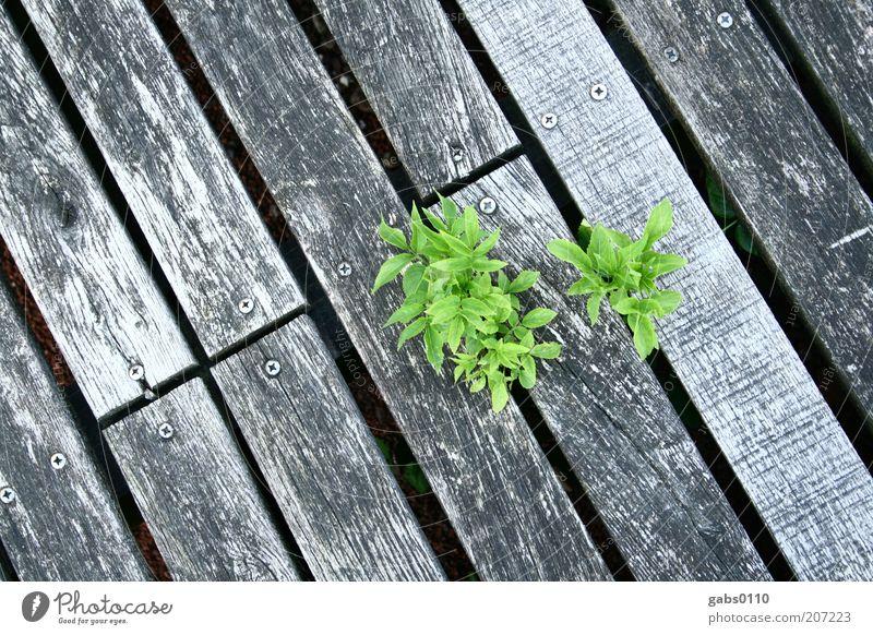 Mutter Natur Umwelt Pflanze Klima Klimawandel Blatt Grünpflanze Wachstum grau grün schwarz silber Kraft Willensstärke Holz Steg Durchsetzungsvermögen Leben