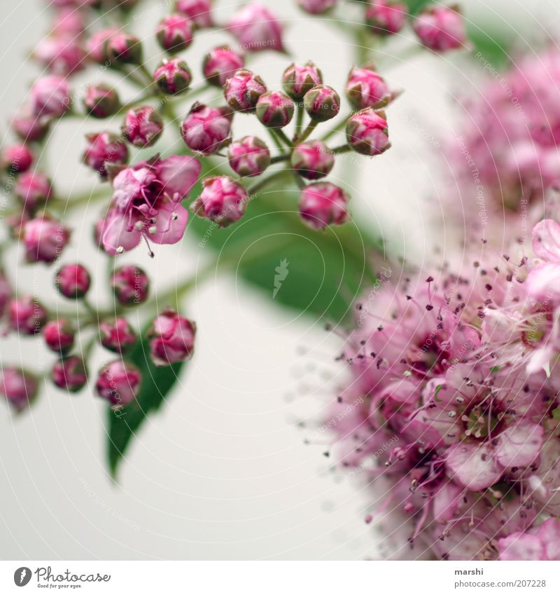 blühend Natur schön weiß Blume grün Pflanze Sommer Blüte Frühling klein rosa Sträucher zart Blühend Blütenknospen zierlich