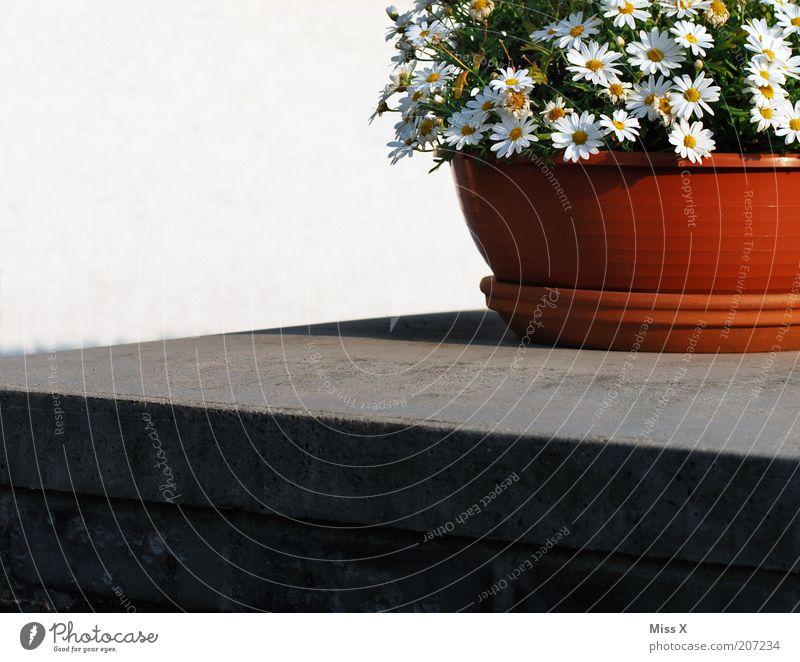 Töpfchnes Dekoration & Verzierung Sommer Blume Blüte Topfpflanze Blühend Margerite Blumentopf Kübel Farbfoto Außenaufnahme Menschenleer Textfreiraum links