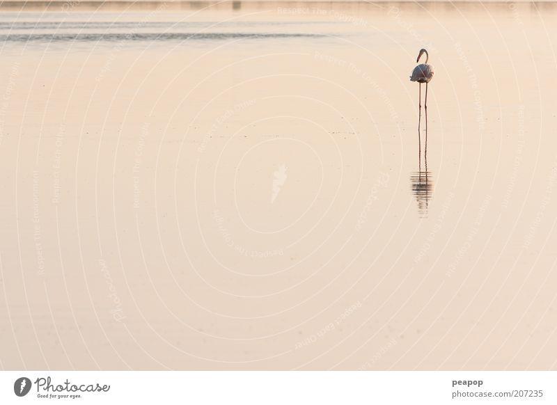 Tier See Vogel rosa Teich Morgen Wasser tropisch Flamingo Ornithologie Süßwasser Watvögel