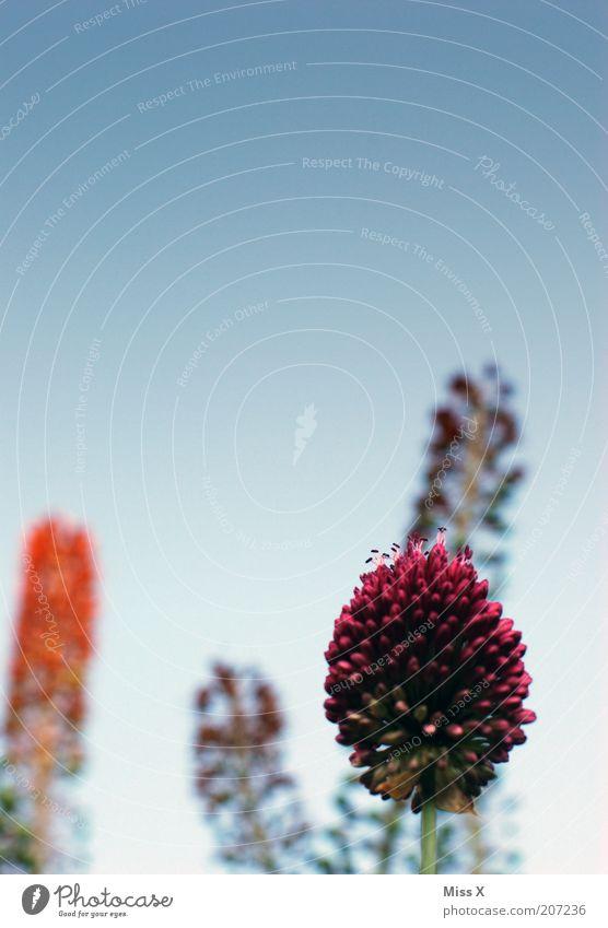 Bömmel Natur Himmel Pflanze Blume Blüte Blühend Wachstum gigantisch groß mehrfarbig Außenaufnahme Menschenleer Textfreiraum oben Schwache Tiefenschärfe