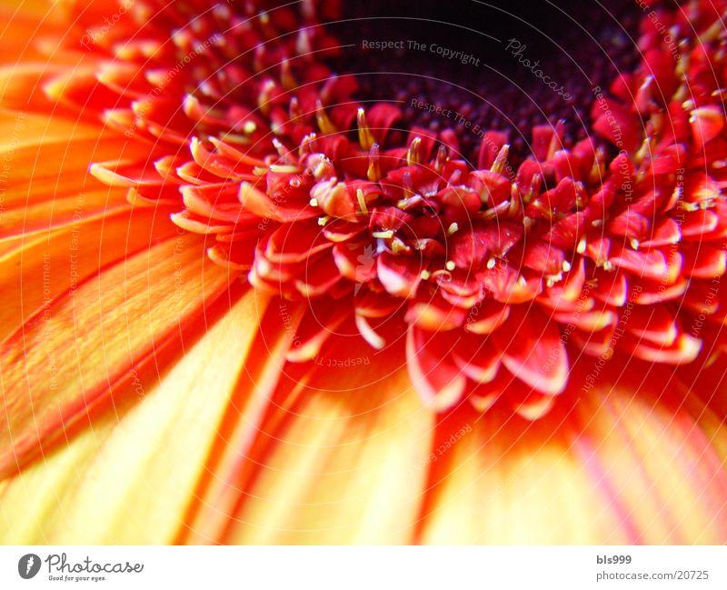 Gerbera-2 Makroaufnahme Blume Pflanze Natur