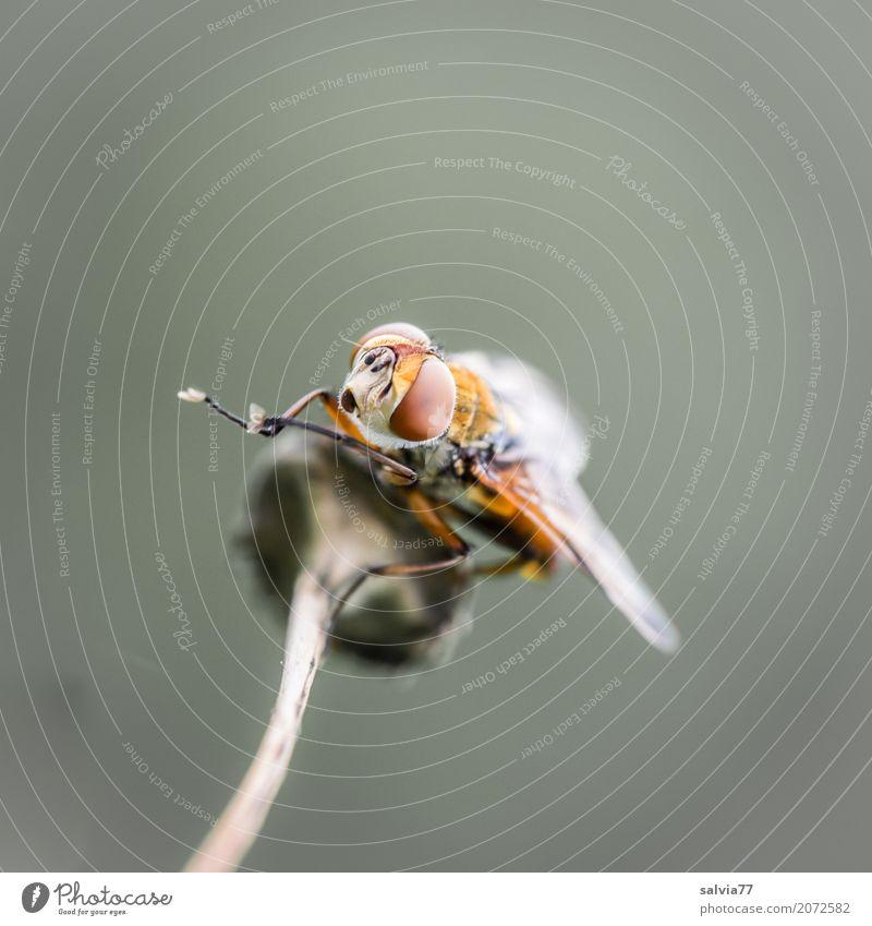 Putzpause Natur Tier Stengel Wildtier Fliege Tiergesicht Flügel 1 beobachten oben braun grau Leichtigkeit Pause Reinigen Facettenauge Panorama (Bildformat)