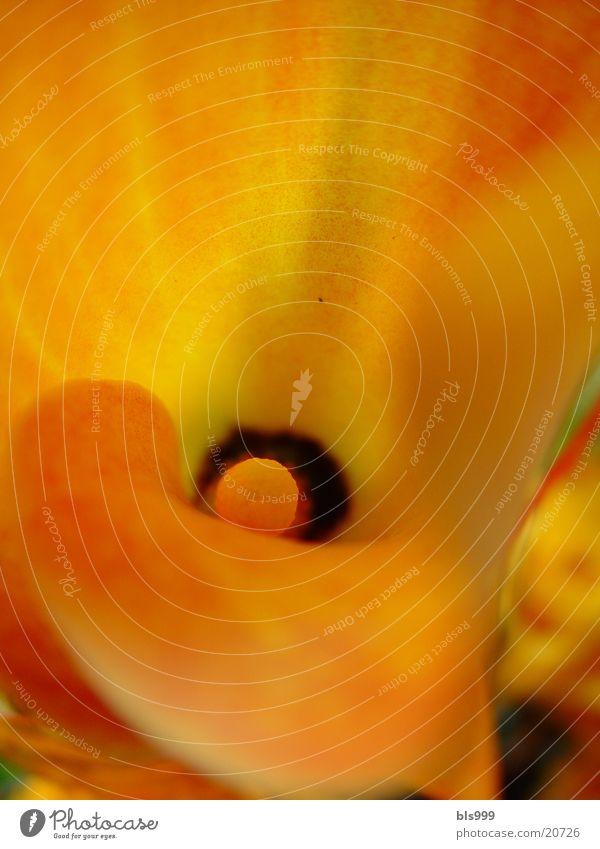 Calla Makroaufnahme Blume Pflanze Natur