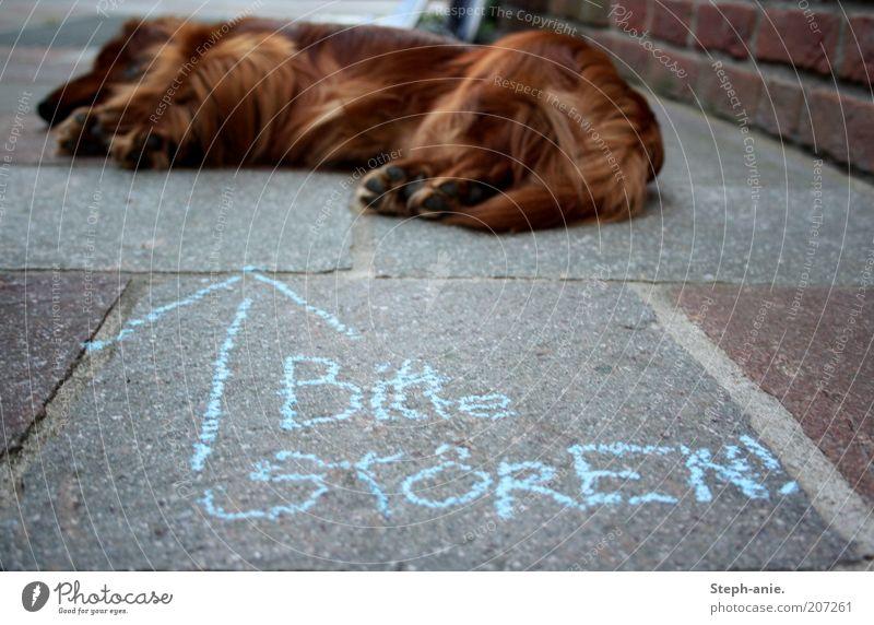 Störenfried. Kreide Haustier Hund Fell Pfote 1 Tier schlafen lustig blau nerven provokant Pfeil Siesta auffordern Hinweis Unsinn Straßenhund Kreidezeichnung