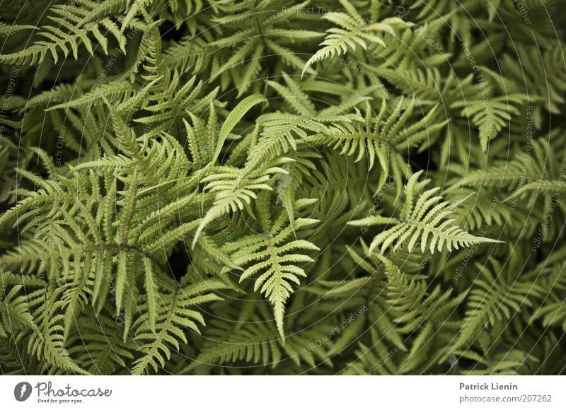 grünes Durcheinander Natur Pflanze Sommer ruhig Umwelt frisch Spitze durcheinander Farn Farnblatt