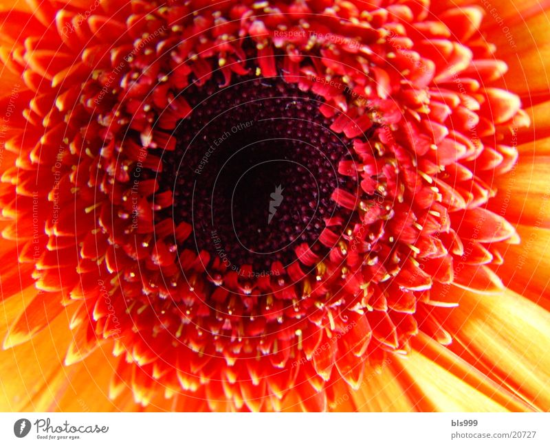 Gerbera-3 Makroaufnahme Blume Pflanze Natur