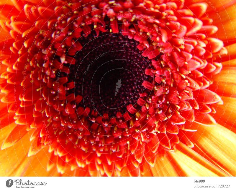 Gerbera-3 Natur Blume Pflanze