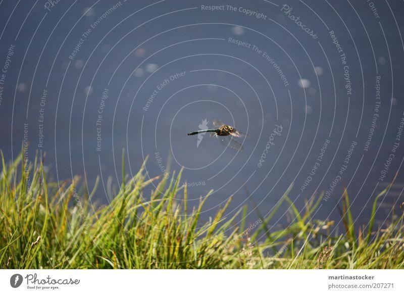 Libelle Freiheit Sommer Natur Pflanze Tier Wasser Schönes Wetter Gras Grünpflanze Seeufer Teich fliegen natürlich Geschwindigkeit schön blau grün Libellenflügel
