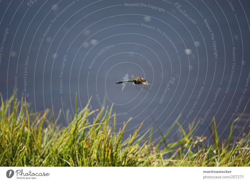 Libelle Natur Wasser schön grün blau Pflanze Sommer Tier Gras Freiheit fliegen Geschwindigkeit natürlich Seeufer Schönes Wetter Teich