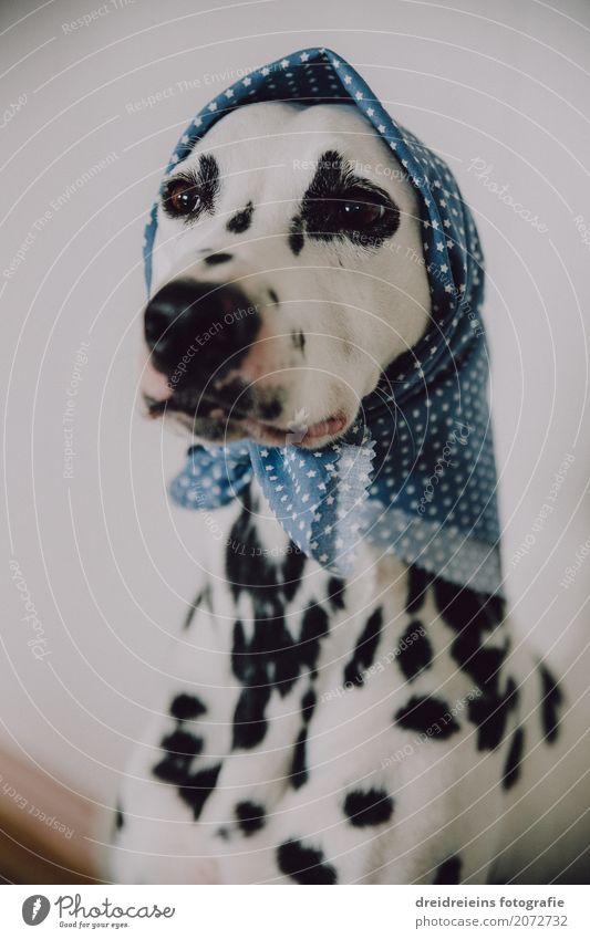 Komsiche alte Frau. Kopftuch Tier Haustier Hund Dalmatiner 1 beobachten warten Coolness trendy einzigartig Appetit & Hunger Erwartung Langeweile Optimismus