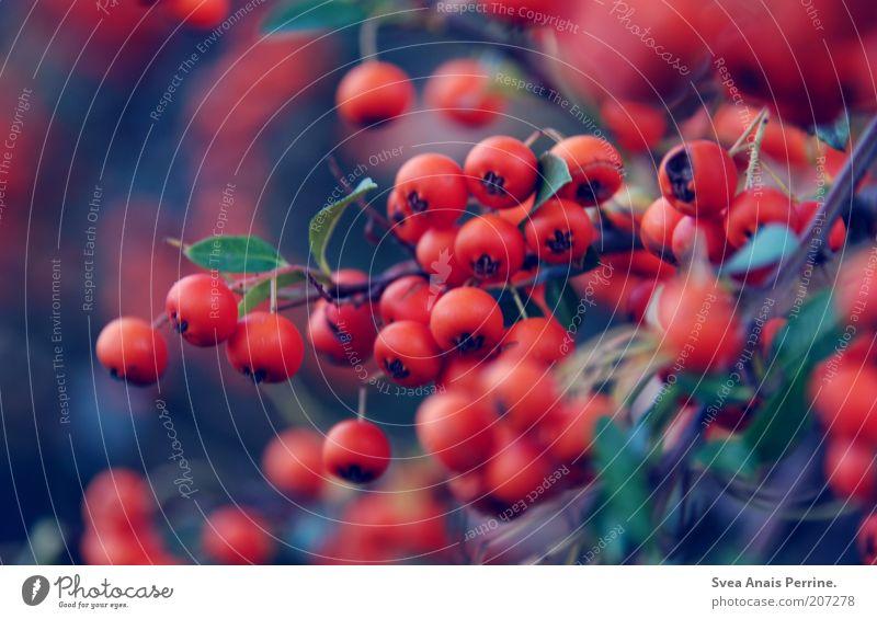 . blau Pflanze rot Sommer Sträucher reif Beeren Wildpflanze Vogelbeeren Beerensträucher