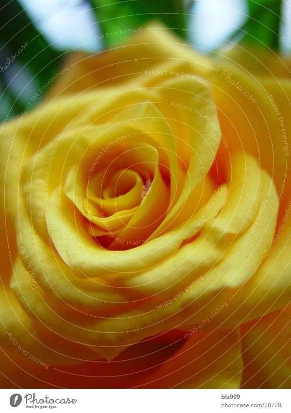Rosengeflüster 2 Natur Blume Pflanze gelb