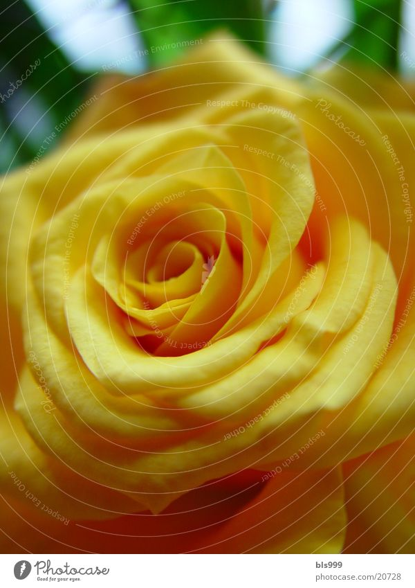 Rosengeflüster 2 Natur Blume Pflanze gelb Rose