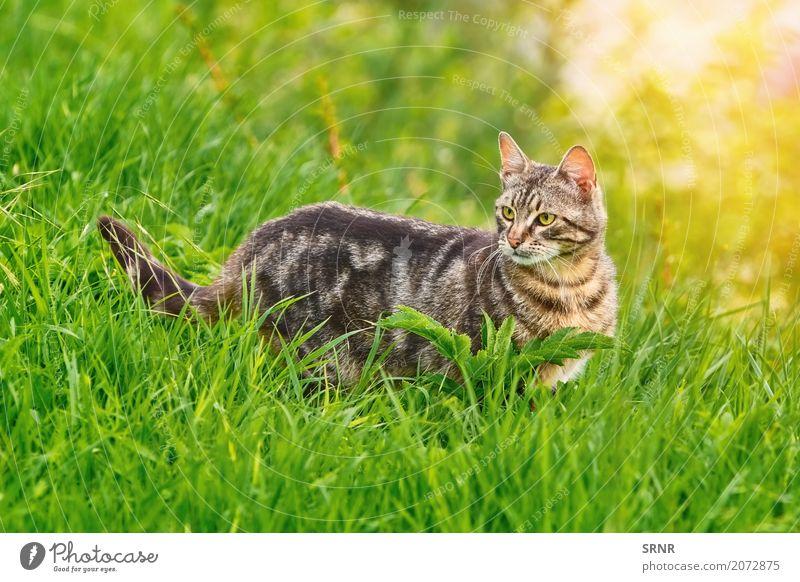 Katze im Gras Umwelt Natur Tier kurzhaarig Haustier stehen fleischfressend heimisch Hauskatze domestiziert glücklich Wildkatze halbwild Säugetier outbred
