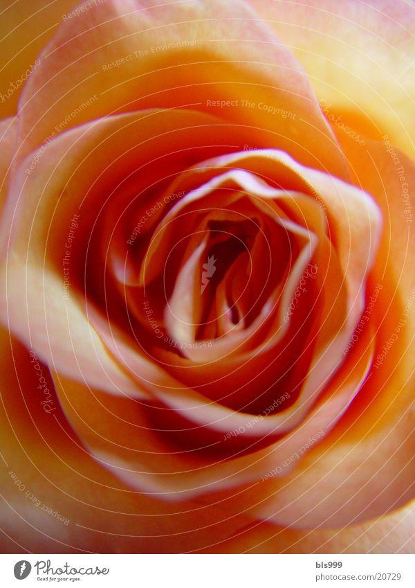 Rosengeflüster -3 Natur Blume Pflanze