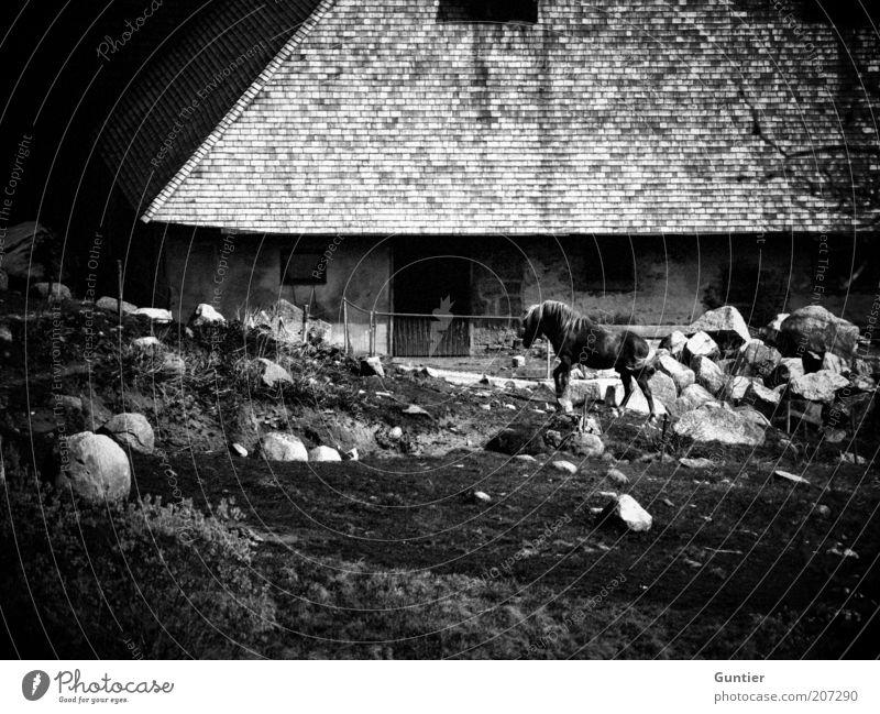 wild wild horses alt weiß Ferien & Urlaub & Reisen Tier schwarz Wiese Stein natürlich Pferd Dach Bauernhof historisch Tradition Schwarzweißfoto Nutztier