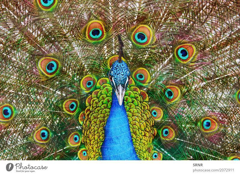 Porträt des Pfaus Natur Vogel wild Festakt Balz Balzritual verdecktes Federtier Vogelwelt verdeckte Federn extravaganter Schwanz Augenfleckschwanz Fauna