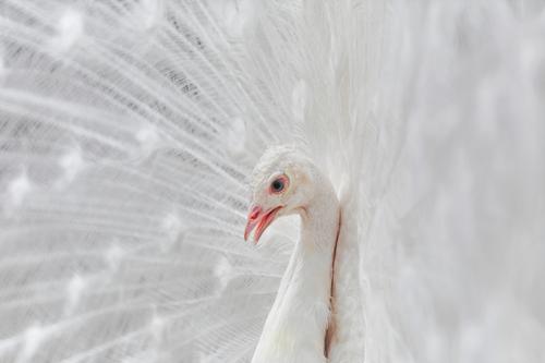 Porträt des Pfaus Natur Vogel wild Albino Pfauenschwanz Vogelwelt Festakt Balz Balzritual verdecktes Federtier verdeckte Federn extravaganter Schwanz