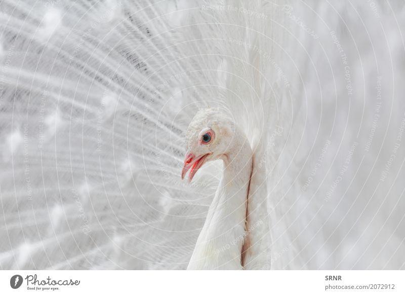 Porträt des Pfaus Natur Vogel wild Feder Albino