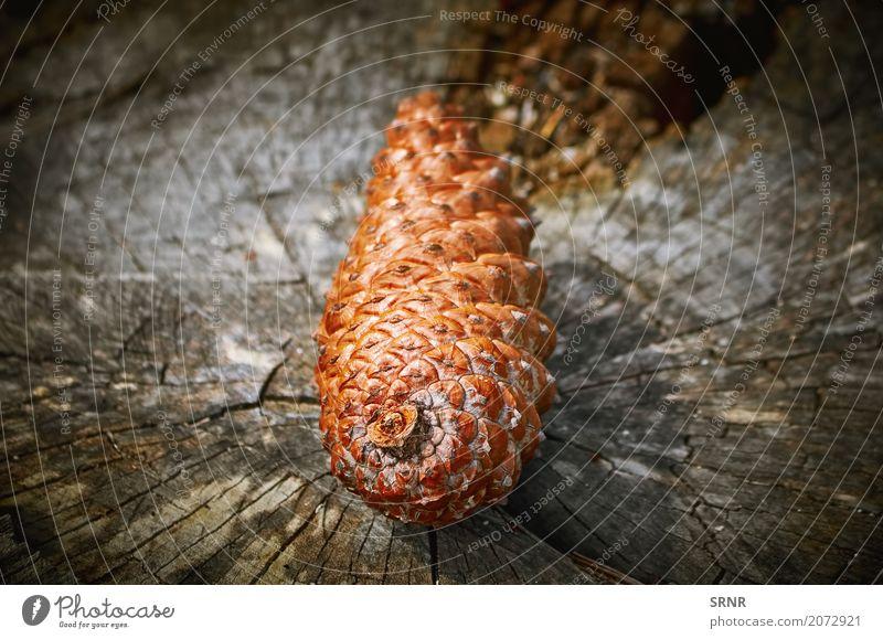 Tannenzapfen auf dem Stumpf Umwelt Natur Holz braun Ökosystem ökologisch Kiefernzapfen Koniferenzapfen Strobili Zapfen Strobile Strobilus Holzkegel Farbfoto