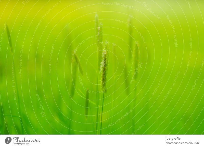 Gras Natur grün Pflanze Sommer Leben Wiese Wärme Stimmung Umwelt Wachstum wild zart natürlich Halm Schönes Wetter