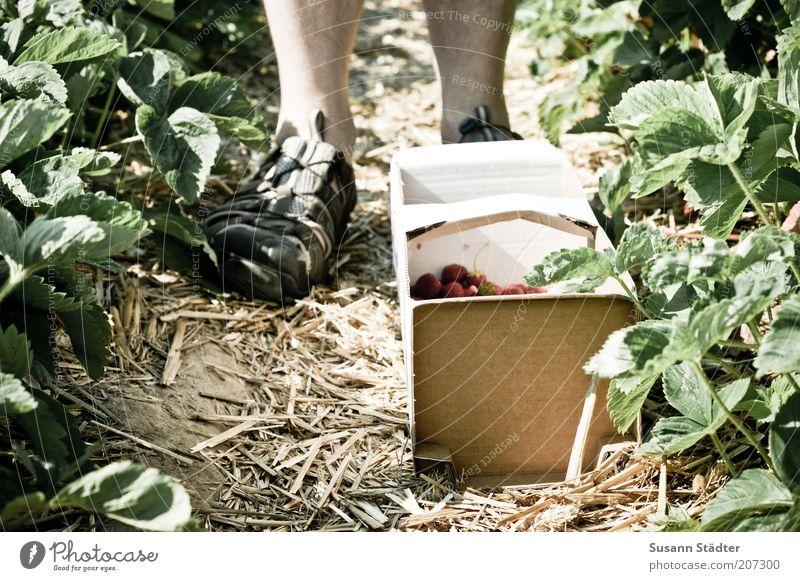 im Land der Erdbeeren Mensch Mann Sommer Ernährung Fuß Schuhe Beine Feld Erwachsene maskulin Umwelt reif Frucht Ernte Sammlung Ackerbau