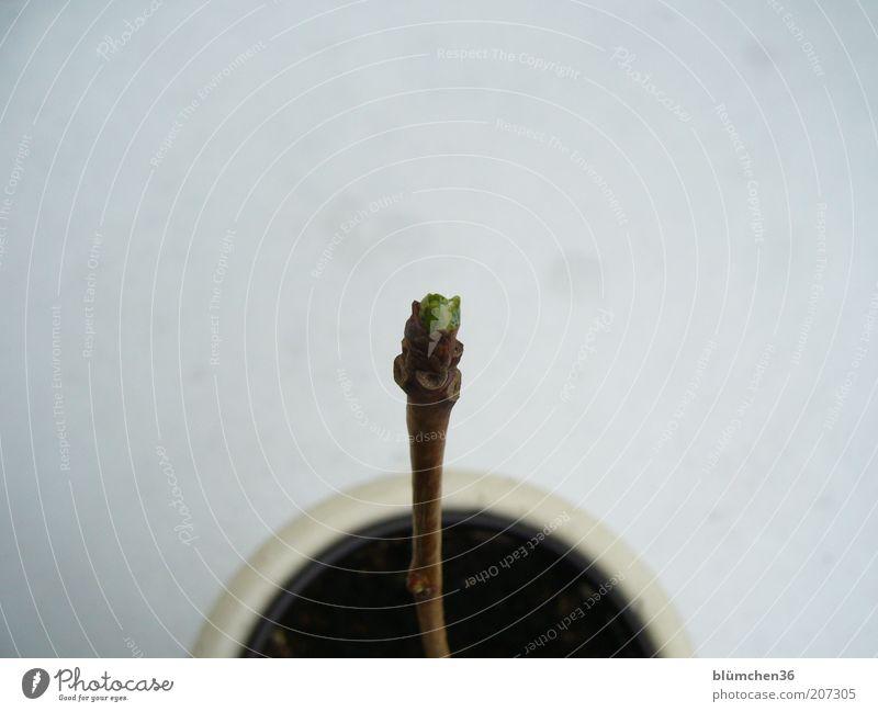 Zarter Frühling Baum grün Pflanze klein ästhetisch neu Wachstum stehen authentisch dünn Stengel exotisch vertikal Blattknospe Blumentopf